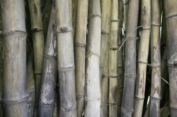 Bamboo Shoots Photograph - Bamboo, Dharamsala, India by Phil Borges