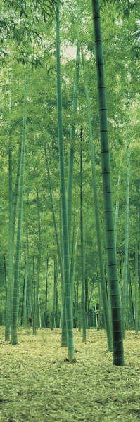Thicket Photograph - Bamboo Forest Nagaokakyo Kyoto Japan by Panoramic Images