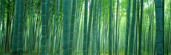 Thicket Photograph - Bamboo Forest, Sagano, Kyoto, Japan by Panoramic Images