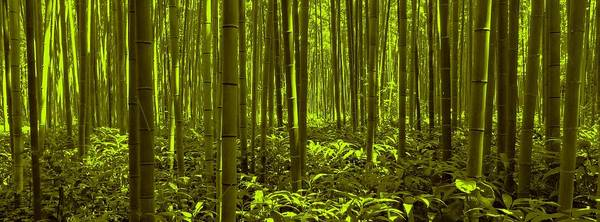 Photograph - Bamboo Forest Twilight  by David Dehner