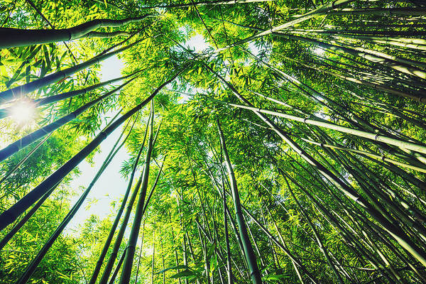 Bamboo Shoots Photograph - Bamboo Forest With Morning Sunlight by Design Pics Vibe