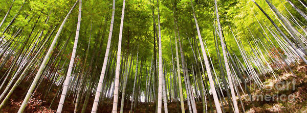 Photograph - Bamboo Forest by Yew Kwang