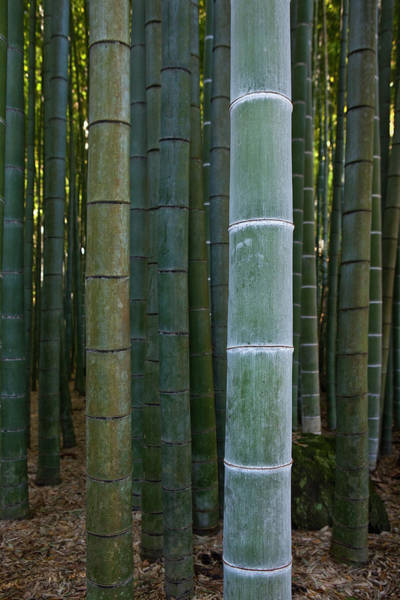 Kamakura Wall Art - Photograph - Bamboo Grove by Gary Conner