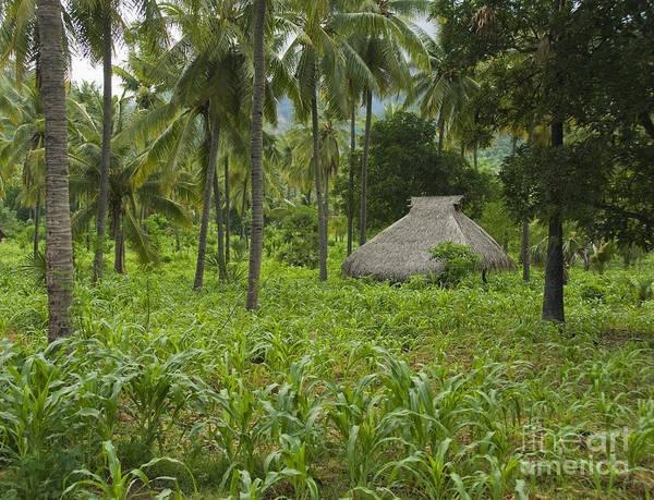 Photograph - Bamboo Hut On Atauro Island by Dan Suzio