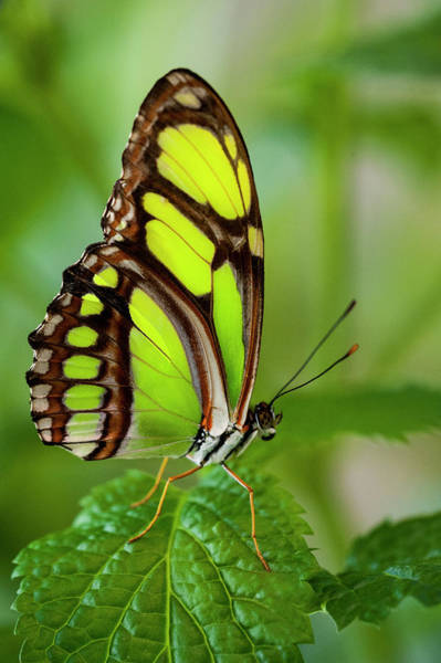 Insect Photograph - Bamboo Page Butterfly Philaethria Dido by Ed Reschke