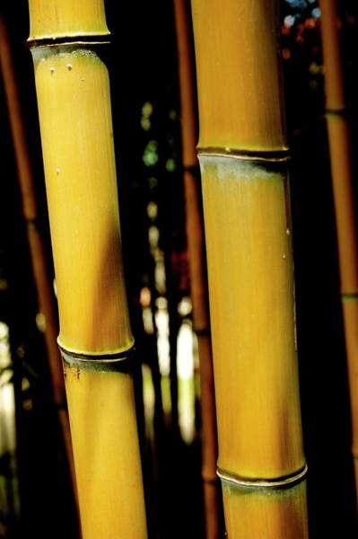 Bamboo Photograph - Bamboo Stems by Mauro Fermariello/science Photo Library
