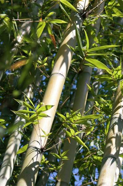 Bamboo Photograph - Bamboo Tree Stem And Leaves by Louise Murray/science Photo Library