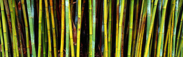 Gainesville Photograph - Bamboo Trees In A Botanical Garden by Panoramic Images
