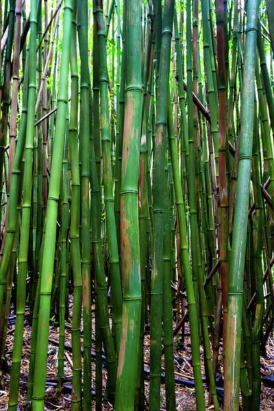 Bamboo Photograph - Bamboo Trees, Maui, Hawaii, Usa by Panoramic Images