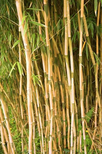 Bamboo Photograph - Bamboo (yushania Maling) by Adrian Thomas/science Photo Library