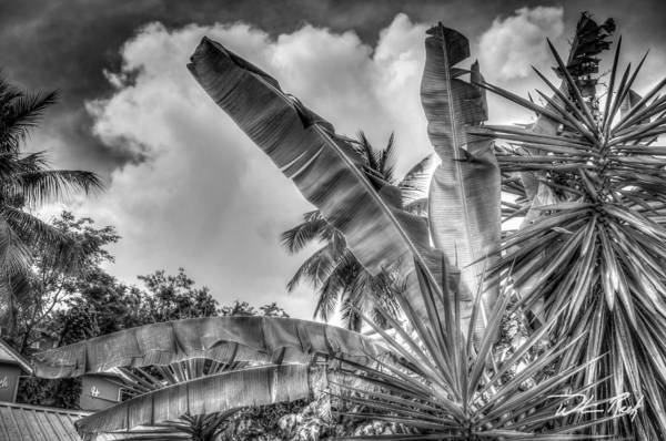 Photograph - Banana Fan Bw by William Reek