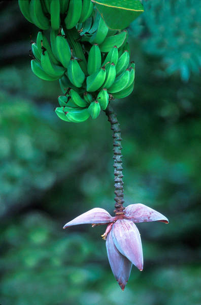 Agrarian Wall Art - Photograph - Banana Flower by Panoramic Images