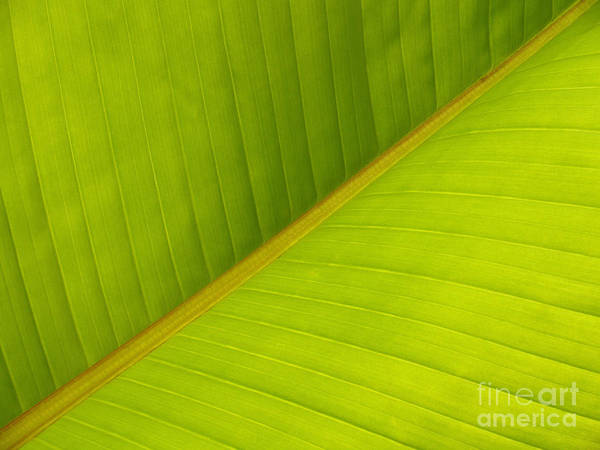 Wall Art - Photograph - Banana Leaf Diagonal Pattern Close-up by Anna Lisa Yoder