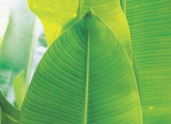 Wall Art - Photograph - Banana Leaf by F. Stuart Westmorland