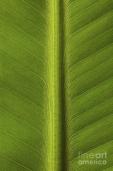Leafy Greens Photograph - Banana Leaf Rib by Ronald Pol