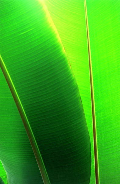 Wall Art - Photograph - Banana Leaves by Steve Taylor/science Photo Library
