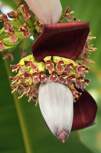 Hybrid Photograph - Banana Palm Flower (musa Hybrid) by Maria Mosolova