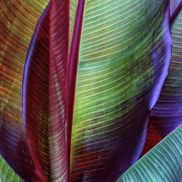 Peel Photograph - Banana Skin by Francois Casanova