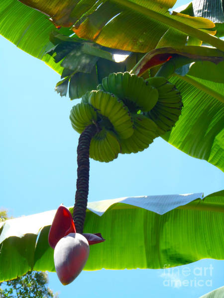 Strawberry Hills Wall Art - Photograph - Banana Stalk by Carey Chen