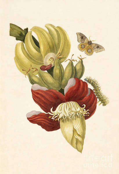 Photograph - Banana Tree Flower With Io Moth by Getty Research Institute