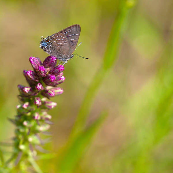 Liatris Spicata Photograph - Banded Hairstreak Butterfly by Melinda Fawver
