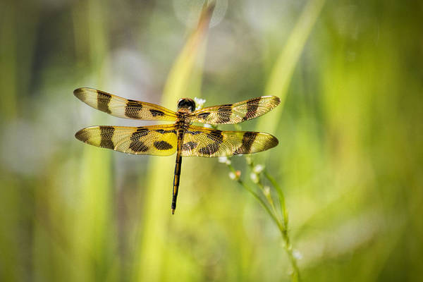 Photograph - Banded Pennant Dragonfly by Jeanne May