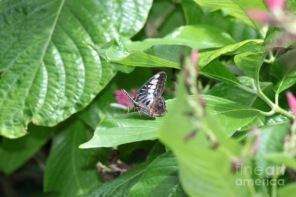 Wall Art - Photograph - Banded Purple Wing Butterfly by Eric Irion