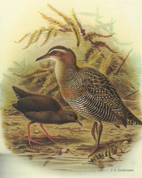 Rail Painting - Banded Rail And Spotless Crake by Dreyer Wildlife Print Collections