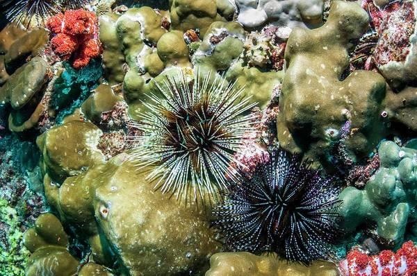 Banded Sea Urchins Art Print