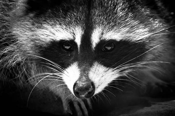 Raccoons Photograph - Bandit by Shane Holsclaw