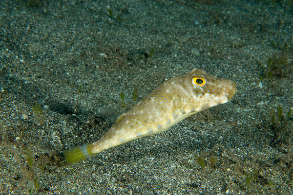 Balloonfish Photograph - Bandtail Puffer Sphoeroides Spengleri by Andrew J. Martinez
