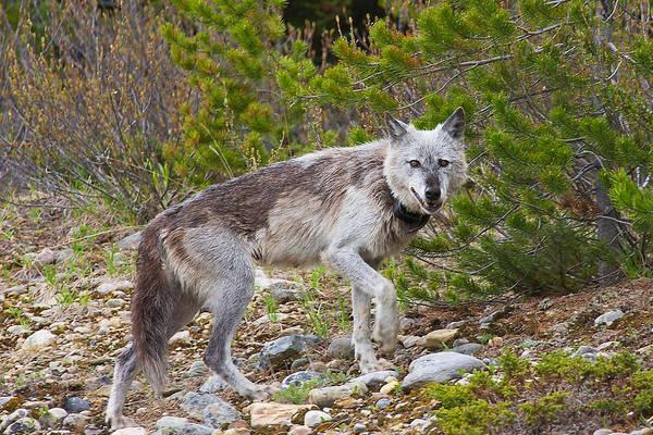 Photograph - Banff Gray Wolf by Stuart Litoff