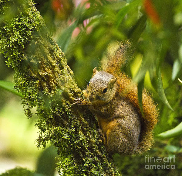 Photograph - Bang's Mountain Squirrel II by Heiko Koehrer-Wagner