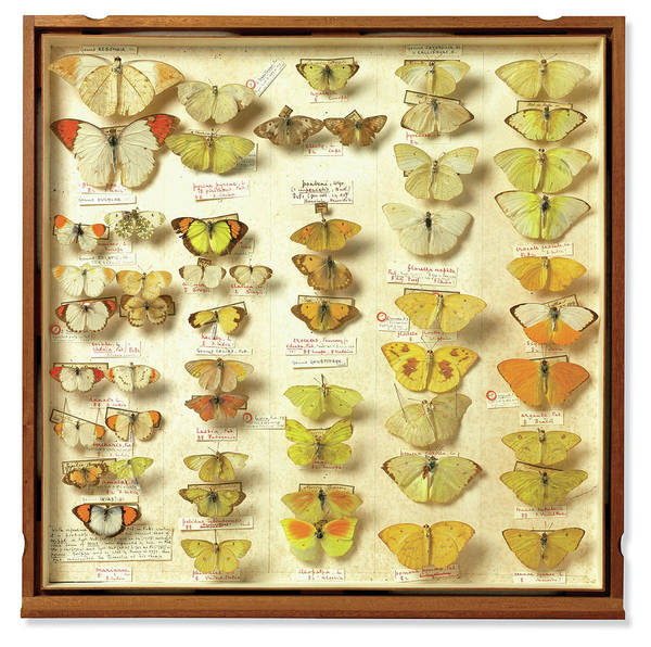 Endeavour Photograph - Banks Insect Collection by Natural History Museum, London/science Photo Library