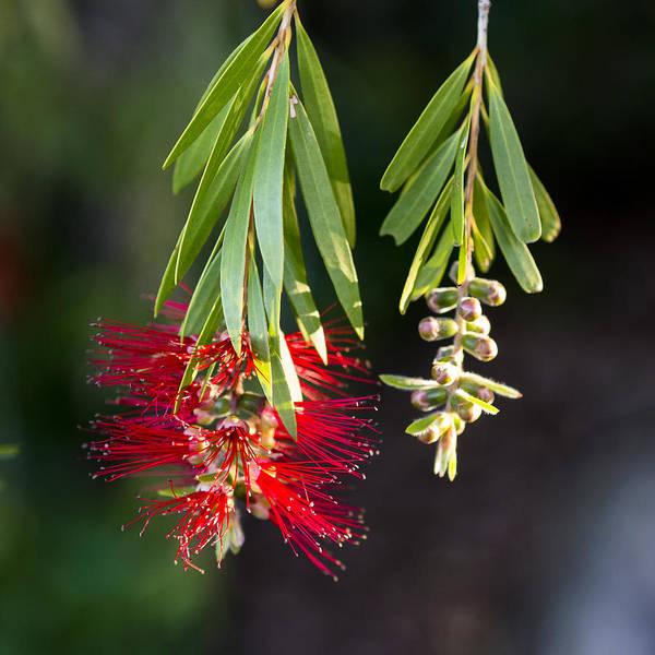 Photograph - Banksia - Australia by Steven Ralser