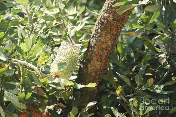 Photograph - Banksia Serrata Kula Maui Hawaii by Sharon Mau