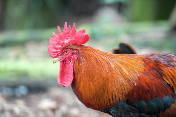 Cock Photograph - Bantam Rooster, Florida, Usa by Lisa S. Engelbrecht