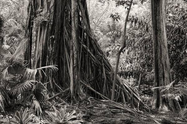 Strangler Fig And Cypress Tree Art Print