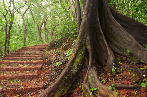 Indian Banyan Photograph - Banyan Buttress Roots Along A Matheran Trail by Scott Lenhart