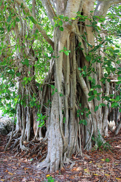 Indian Banyan Photograph - Banyan Graffiti by Megan Dirsa-DuBois