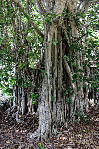 Indian Banyan Photograph - Banyan Graffiti No2 by Megan Dirsa-DuBois