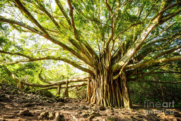 Indian Banyan Photograph - Tree Of Life by Jamie Pham