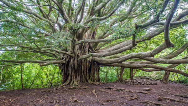 Photograph - Banyan Tree Of Life by Pierre Leclerc Photography