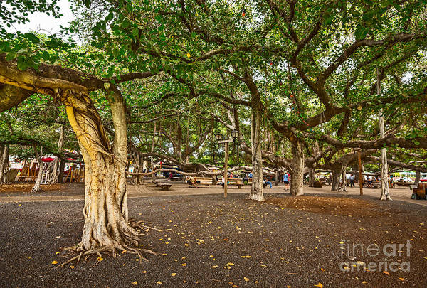 Indian Banyan Photograph - Banyan Tree Park In Maui. by Jamie Pham