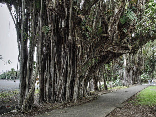Indian Banyan Photograph - Banyan Tree Walk In Hilo Hawaii by Daniel Hagerman
