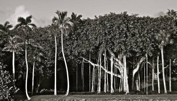 Photograph - Banyan With Palms by Kim Pippinger