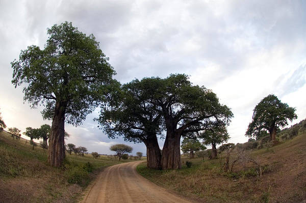 Tarangire Photograph - Baobab Trees Adansonia Digitata by Panoramic Images