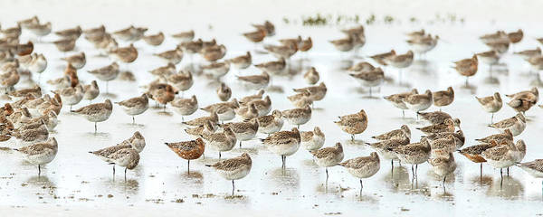 New Zealand Photograph - Bar-tailed Godwit 19 by Kurien Yohannan