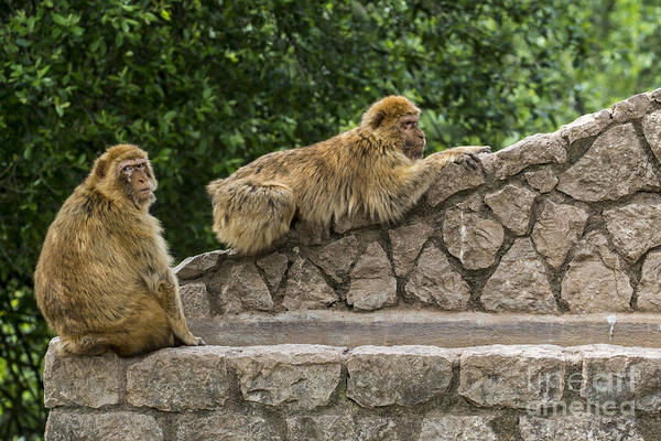 Photograph - Barbary Macaques by Arterra Picture Library