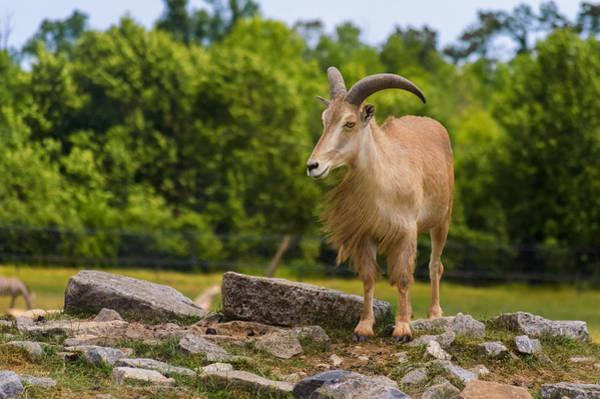 Photograph - Barbary Sheep by Garvin Hunter